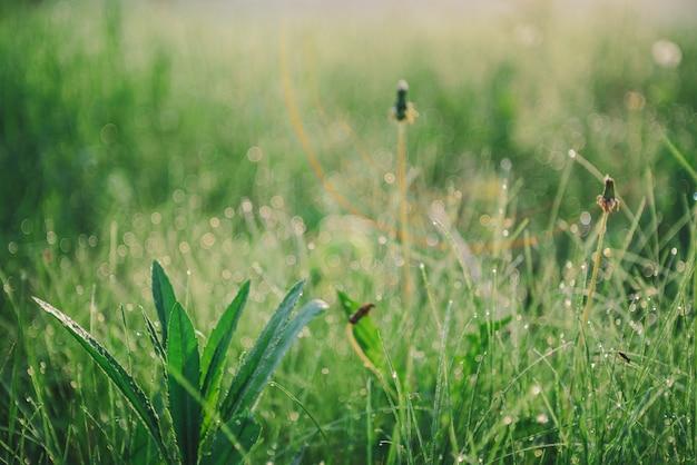 Erba verde chiara con le goccioline sulla natura del bokeh. erbaccia con il primo piano di rugiada. scenico naturale di ricca vegetazione con spazio di copia. piante verdi variopinte alla luce solare di mattina. chiarore dell'obiettivo e raggio di sole
