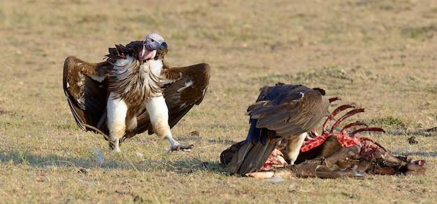 Avvoltoio che si nutre di un'uccisione. parco nazionale masai mara, kenya Foto Premium