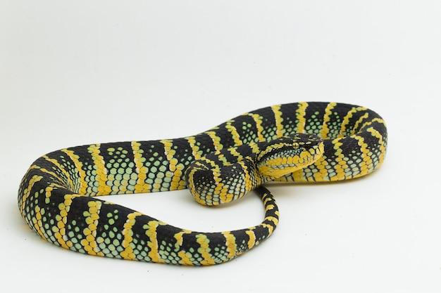 Serpente vipera di wagler