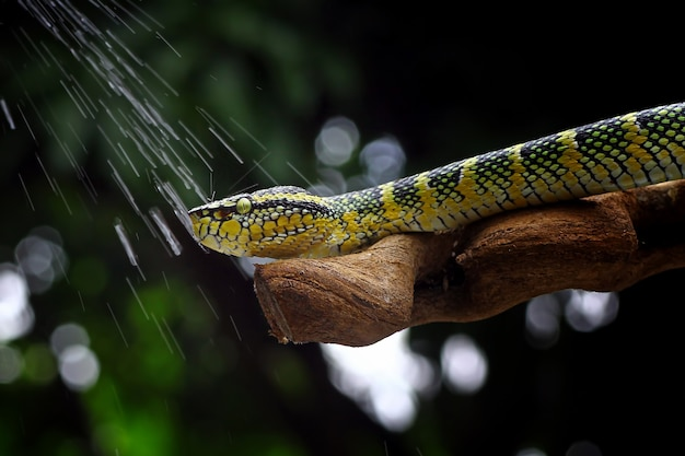 Wagleri pit viper serpenti tropidolaemus wagleri