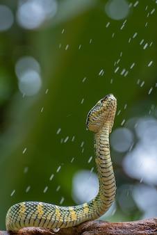 Waglers pit viper sul ramo di un albero