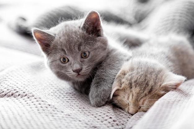 Gattino grigio sveglio e giocoso cerca di svegliare il gatto spogliato addormentato. i gattini stanno riposando all'interno di casa accogliente. coppia di soffici gattini dormono sul divano grigio. animali domestici accoglienza gattini addormentati.