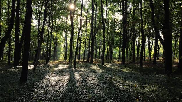 Cammina nella foresta mattutina con una leggera nebbia. foresta soleggiata sotto i raggi del sole nascente.