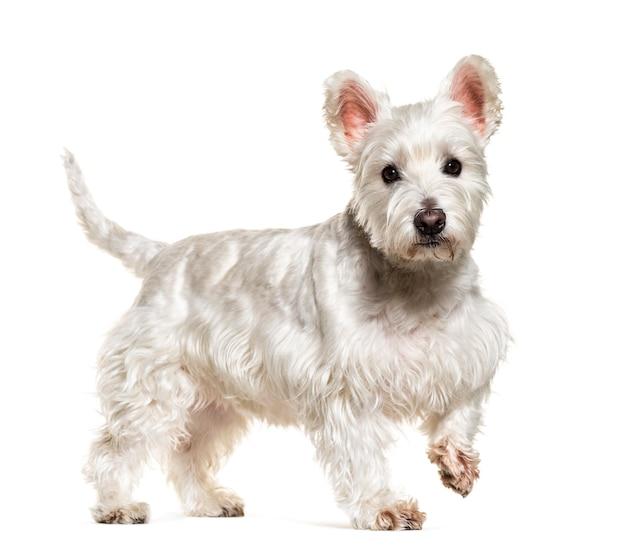 Walking white west highland white terrier cane, isolato su bianco