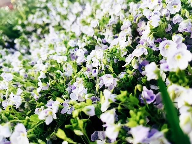 Muro di fiori bucaneve in una radura nella foresta di primavera.