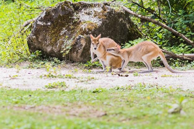 Un wallaby, un marsupiale australiano simile a, ma più piccolo, di un canguro.