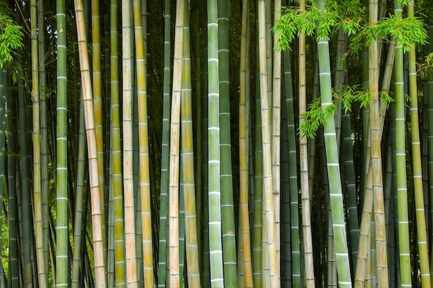 Carta da parati e della natura, alberi di bamoock nel giardino botanico di tbilisi.