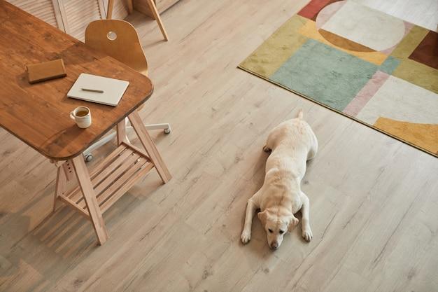 Vista ad alto angolo dai toni caldi al cane labrador bianco sdraiato sul pavimento e in attesa del proprietario in interni moderni di casa, spazio copia