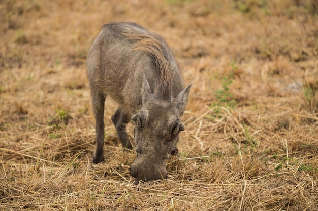 Warthog (phacochoerus africanus), sud africa