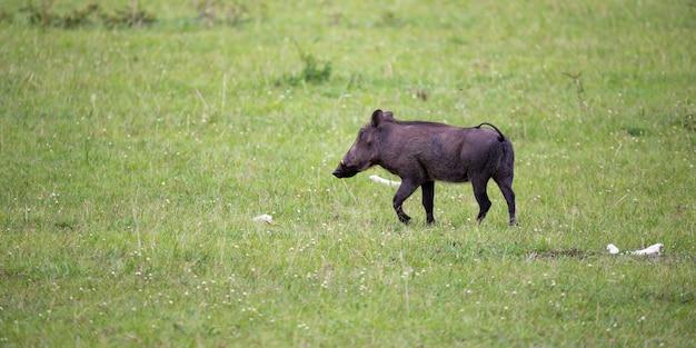 I facoceri pascolano nella savana del kenya