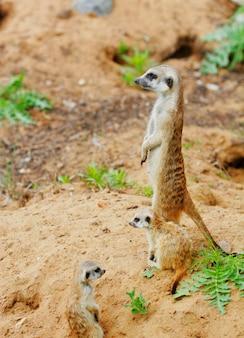 Guardando la piccola giornata estiva di suricate suricate Foto Premium