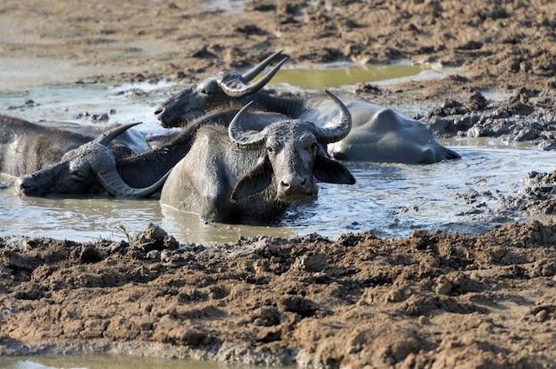 Bufali d'acqua stanno facendo il bagno in un lago nello sri lanka