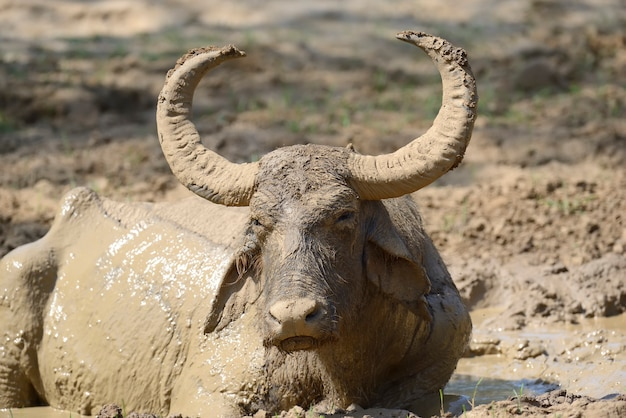 I bufali d'acqua stanno facendo il bagno in un lago