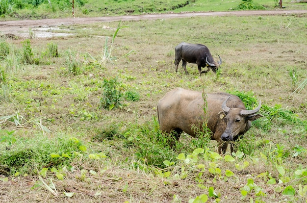 Bufalo d'acqua o bufalo d'acqua asiatico domestico (bubalus bubalis)