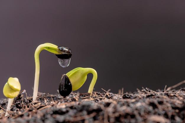 Gocciolamento d'acqua sulla piantina. pianta appena nata. piantare l'albero per rilassarsi e divertirsi durante la stagione del raccolto primaverile a casa.