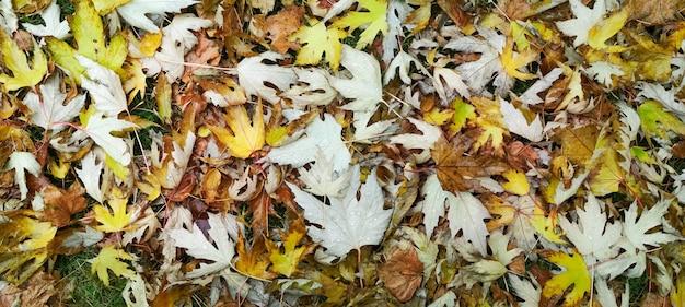 Goccia d'acqua sulla foglia d'autunno. gocce di pioggia al mattino brillano al sole.