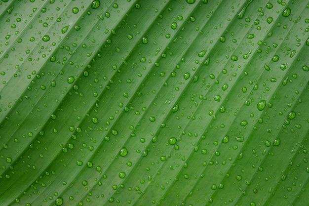 Gocce d'acqua su foglia di banana