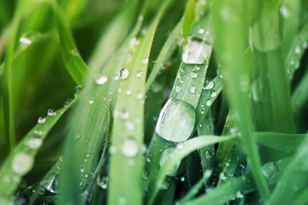 Gocce d'acqua su erba verde, da vicino.