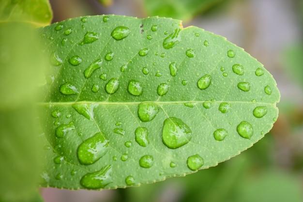 Gocce d'acqua sulla foglia verde. gocce di pioggia sulla foglia