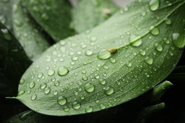 Gocce dell'acqua sulle foglie verdi, backgrond di struttura, fine su