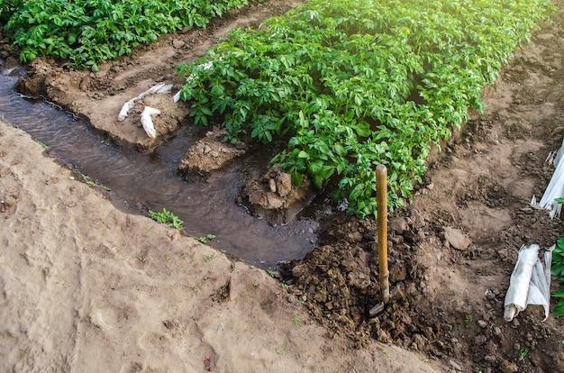 L'acqua scorre attraverso i canali in un tunnel di serra con una piantagione di cespugli di patate coltivazioni in crescita all'inizio della primavera utilizzando serre