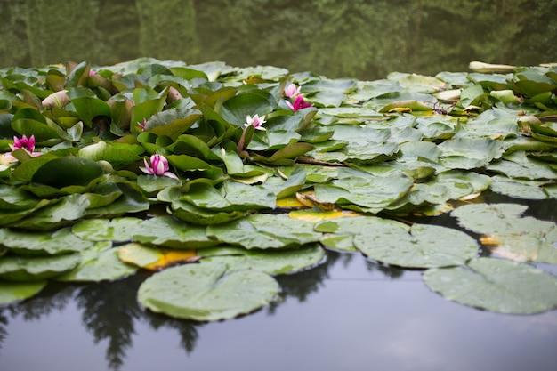 Le ninfee crescono su una ninfea bianca dello stagno in acqua