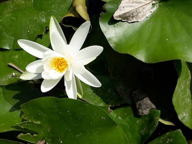 Fiore della ninfea un giorno soleggiato sopra un lago.