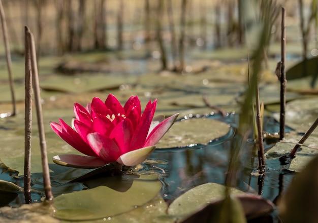 Ninfea di petali di colore rosa su stagno o fiume ninfea giapponese