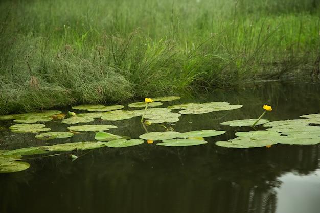 Piante acquatiche sulla superficie del fiume, paesaggio forestale estivo.