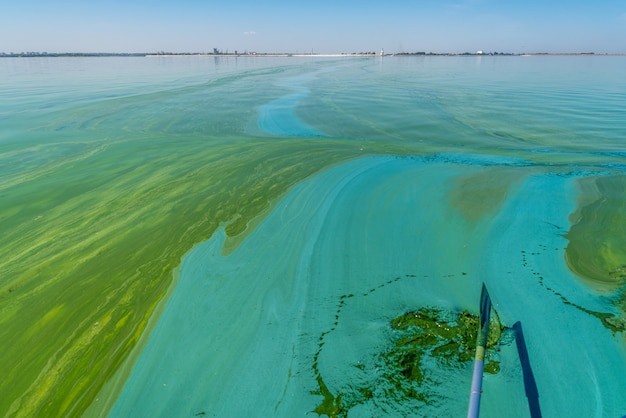 L'inquinamento delle acque da parte dei cianobatteri in fiore delle alghe azzurre è un problema ambientale mondiale dell'acqua