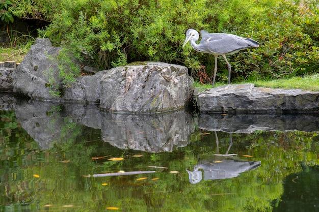 Riflessione dell'acqua di un airone cenerino in piedi su un bordo di uno stagno in cerca di pesci nel giardino di kyoto