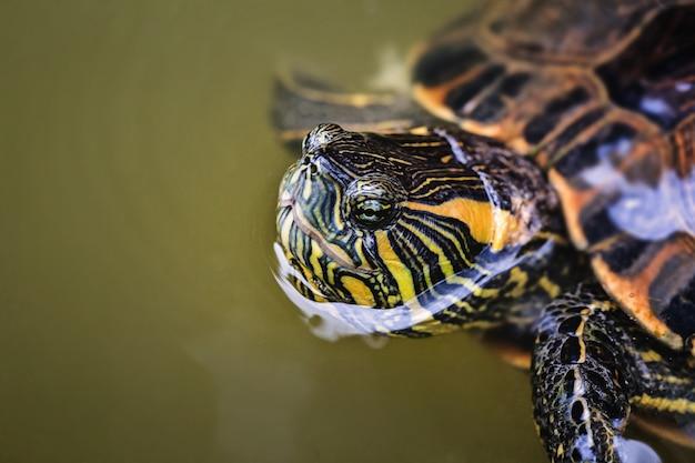 Tartarughe tigre d'acqua, con la faccia fuori dall'acqua