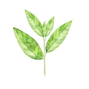 Illustrazione botanica dell'acquerello della pianta del tè verde. foglie disegnate a mano isolate