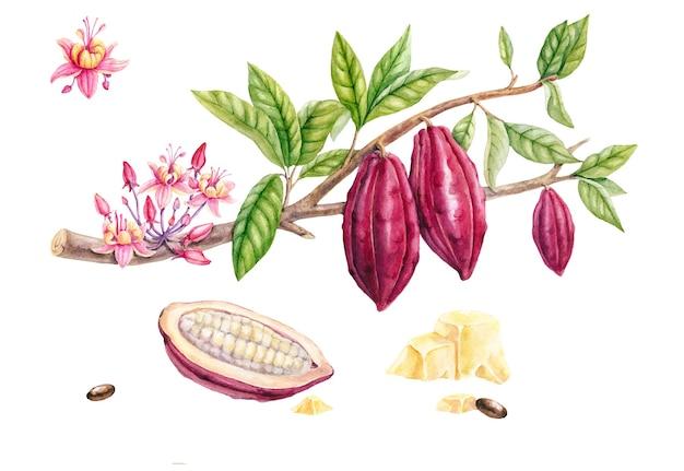 Ramo di cacao dell'acquerello isolato su priorità bassa bianca