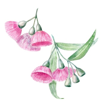Fiori di eucalipto dell'acquerello