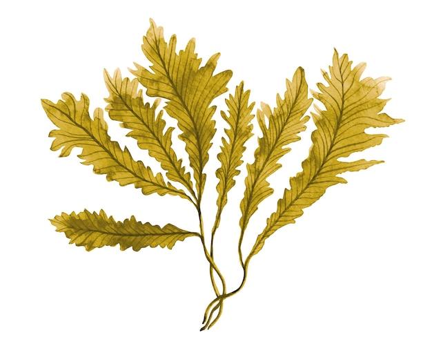 Alghe marroni disegnate a mano dell'acquerello, foglie di alghe su bianco