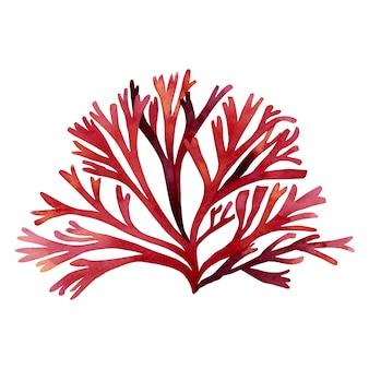 Alga rossa disegnata a mano dell'acquerello, foglie di alghe su bianco