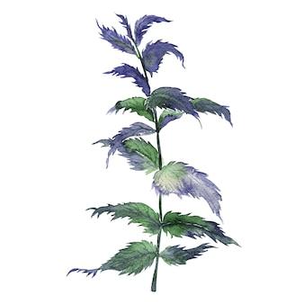 Illustrazione dell'acquerello della pianta di mariannick asherah