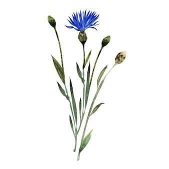 Illustrazione dell'acquerello con ramoscelli, foglie, boccioli e fiori della pianta del fiordaliso