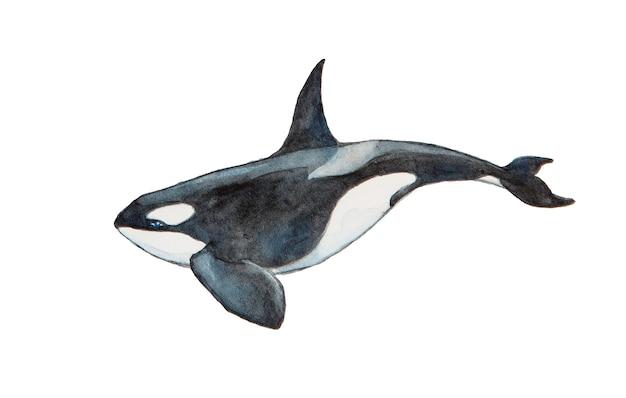 Balena di assassino dell'acquerello