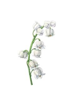 Fiore di mughetto dell'acquerello su fondo bianco