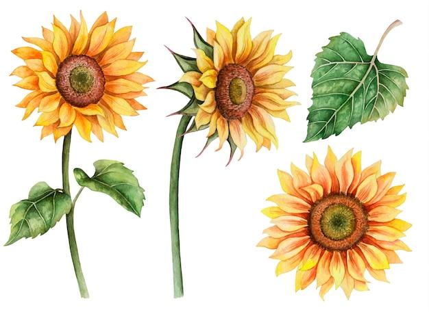 Insieme dell'acquerello di girasoli, illustrazione floreale disegnata a mano isolato su bianco