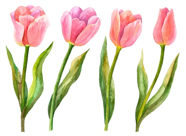 Insieme dei tulipani dell'acquerello, illustrazione disegnata a mano di fiori primaverili, elementi floreali isolati su bianco