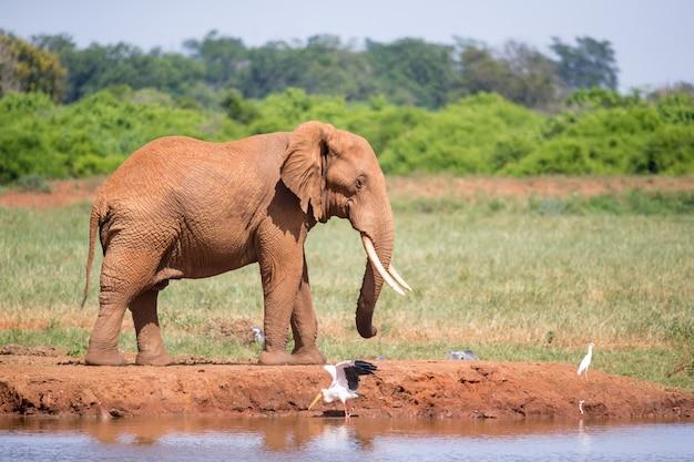Una pozza d'acqua nella savana con alcuni elefanti rossi