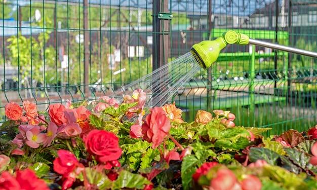 Irrigazione di piantine di begonia con una pistola a spruzzo in un negozio di giardinaggio.