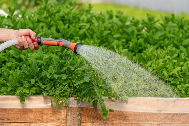 Innaffiare diverse piante nel giardino della serra