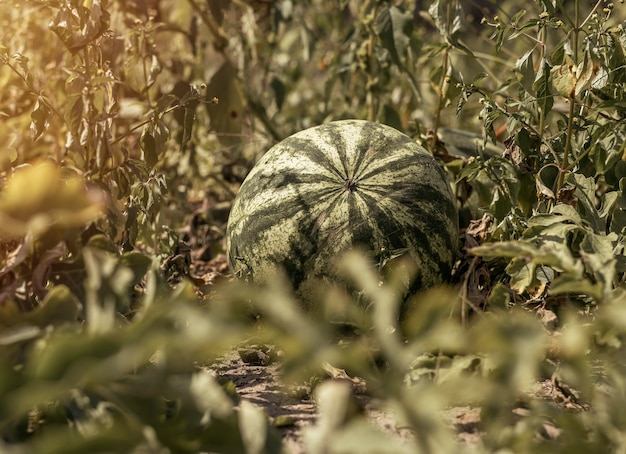Frutto dell'anguria che cresce sul campo grande crescita dell'anguria