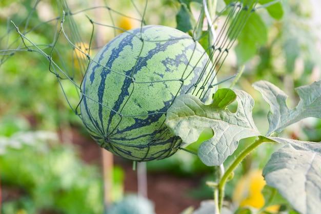 Anguria che cresce nel giardino, fattoria di anguria verde biologica in serra