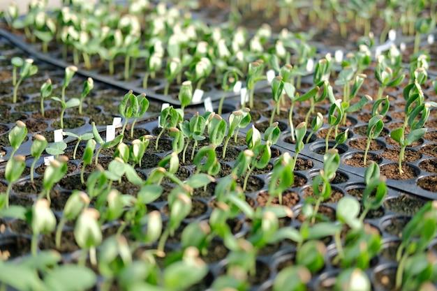 Pianta della piantina del germoglio dell'anguria che cresce nella serra del vivaio in fattoria