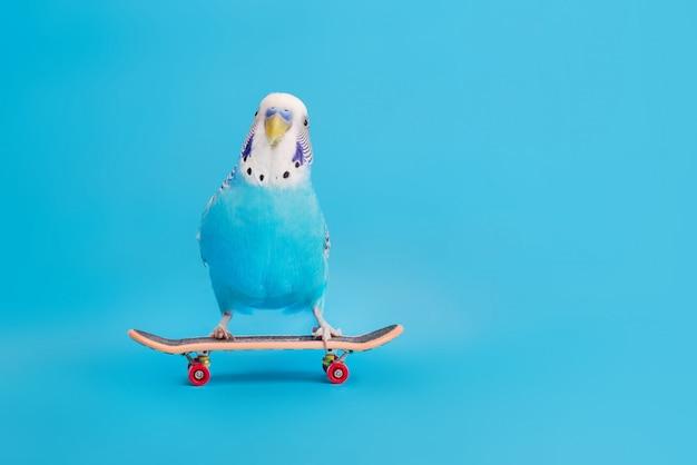 Pappagallo ondulato su skate board